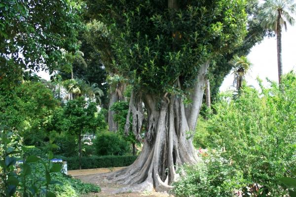 Árboles centenarios en los Jardines de Murillo