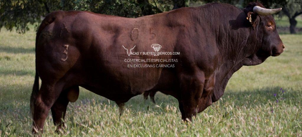 Distribuidor Ternera retinta, Wagyu nacional, Buey valle de Esla certificada | Distribuidor Vaca rubia pura Gallega, Buey Gallego, Ternera Lechal certificada