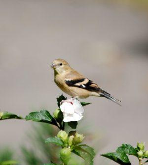 Pájaro de San Pedro