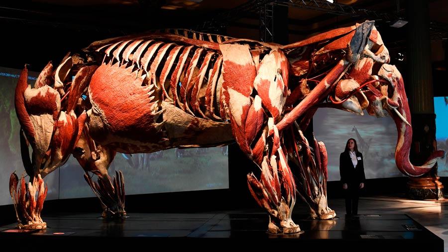 Elefante plastinado en Sevilla Inside Out